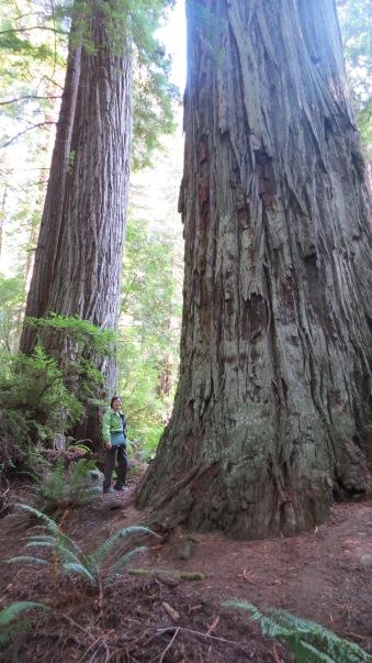 Redwood Giants